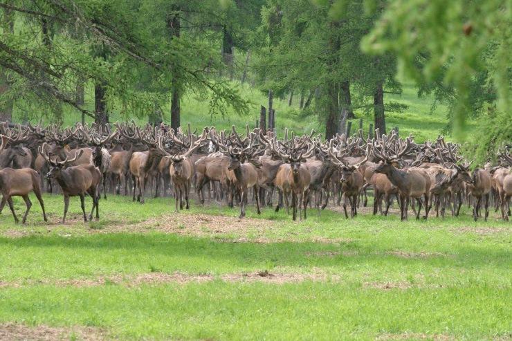 Doc22.ru Алтайский край занимает второе место в России по численности маралов и пятнистых оленей. Фото из архива Doc22