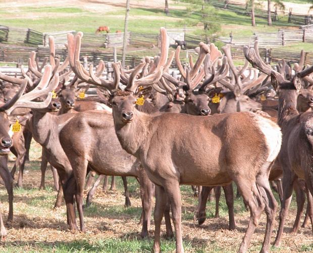 doc22.ru В Алтайском крае содержится свыше 24 тыс. голов маралов и пятнистых оленей. Фото Центра сельхозконсультирования Алтайского края